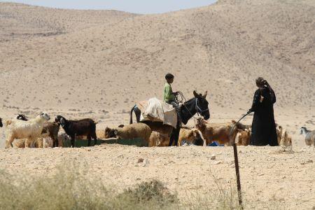 desert-bedouin-goat