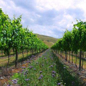 wildflowers and grape vines